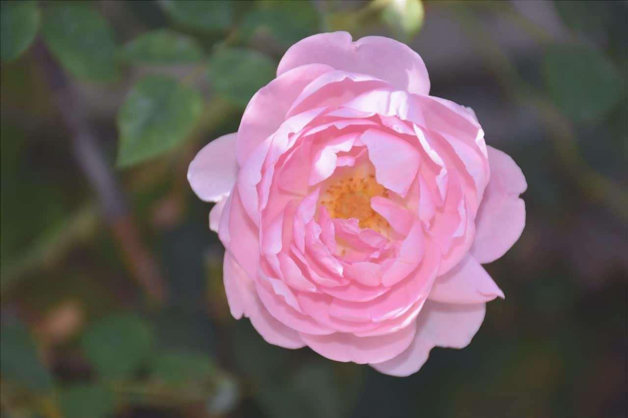 La rosa inglese è una pianta che produce fiori rosa.