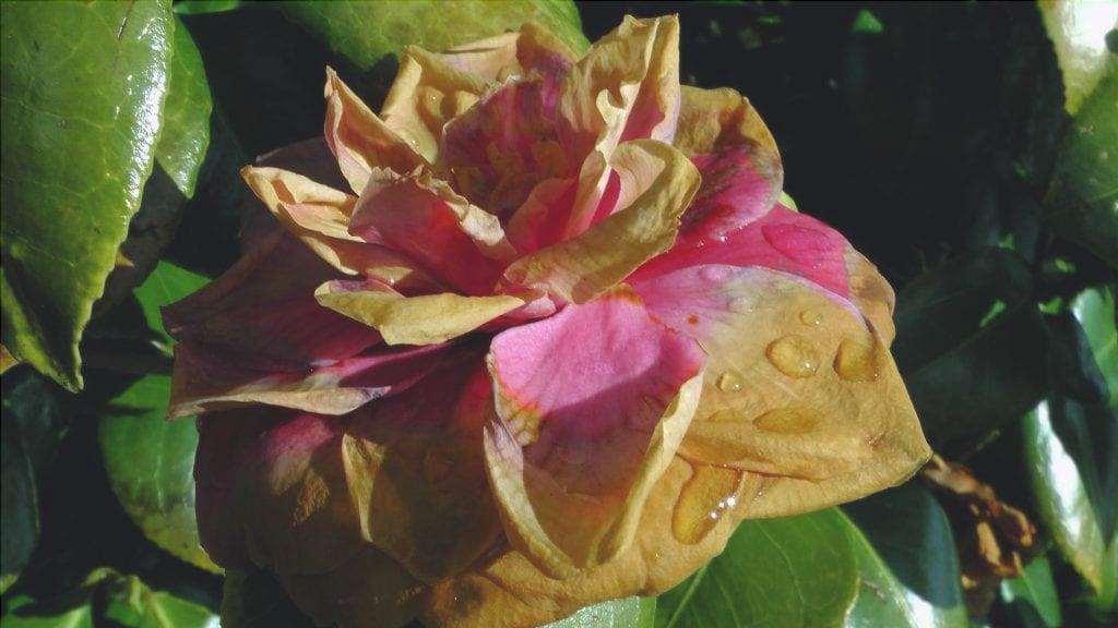 I fiori appassiti devono essere tagliati