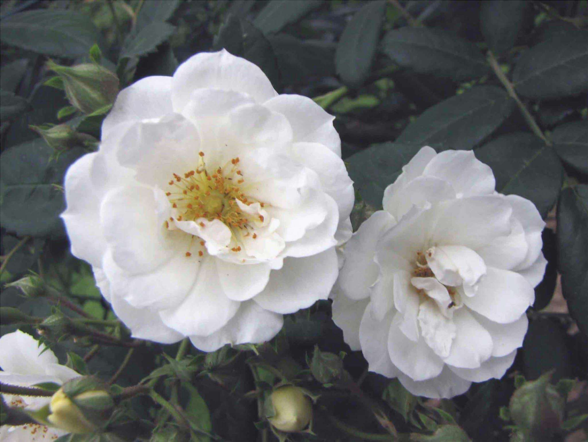 Rosa moschata è un arbusto che produce fiori bianchi.
