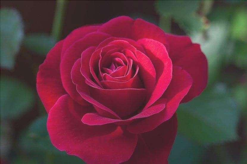 Rosa rossa molto bella
