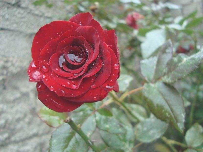 Rosa rossa con acqua