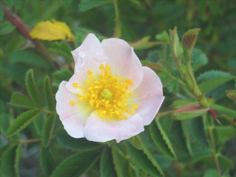 La Rosa rubiginosa è un arbusto spinoso.