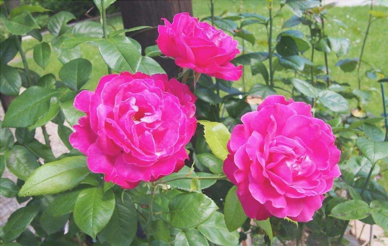 Il cespuglio di rose è un arbusto spinoso che produce bellissimi fiori.