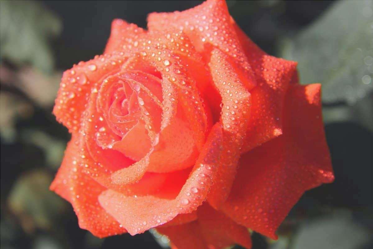 I cespugli di rose vogliono molta acqua