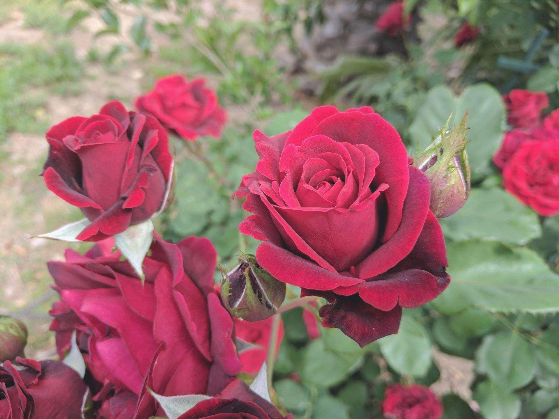 Le rose sono piante che sono state coltivate per secoli.