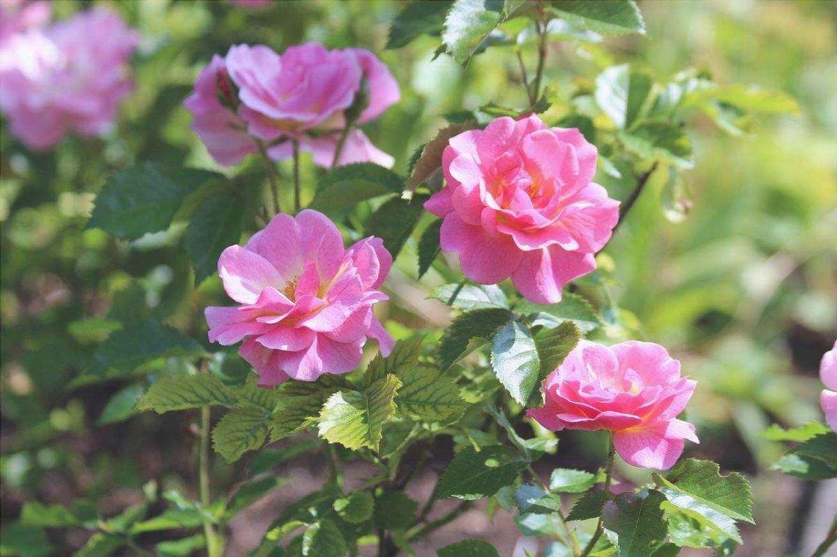 Le rose in vaso vogliono molta acqua