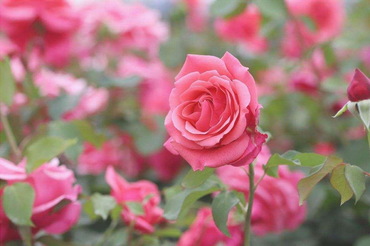 Il cespuglio di rose è un arbusto che fiorisce quasi tutto l'anno.