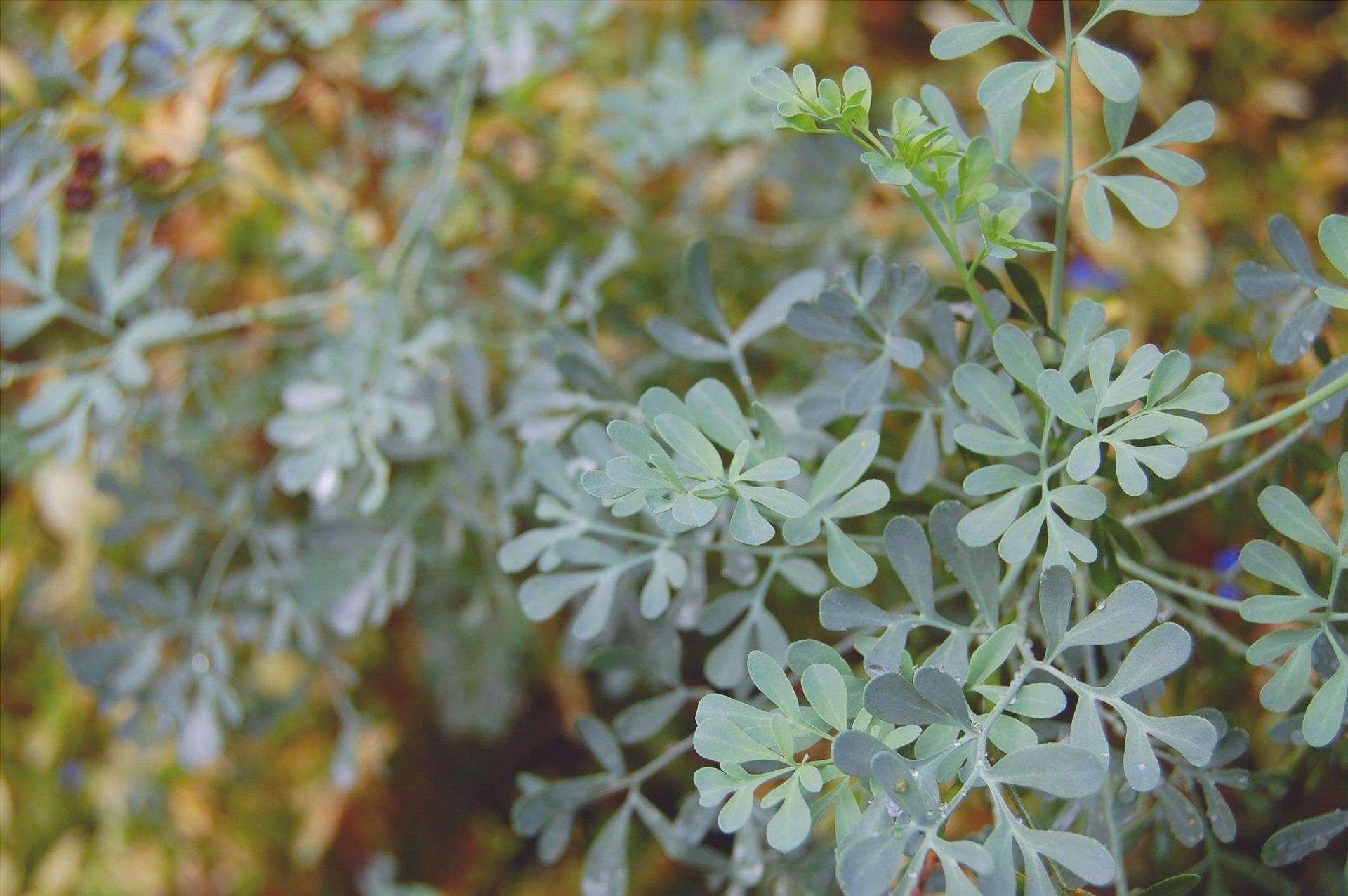 La ruta è una pianta aromatica che germoglia bene in casa.