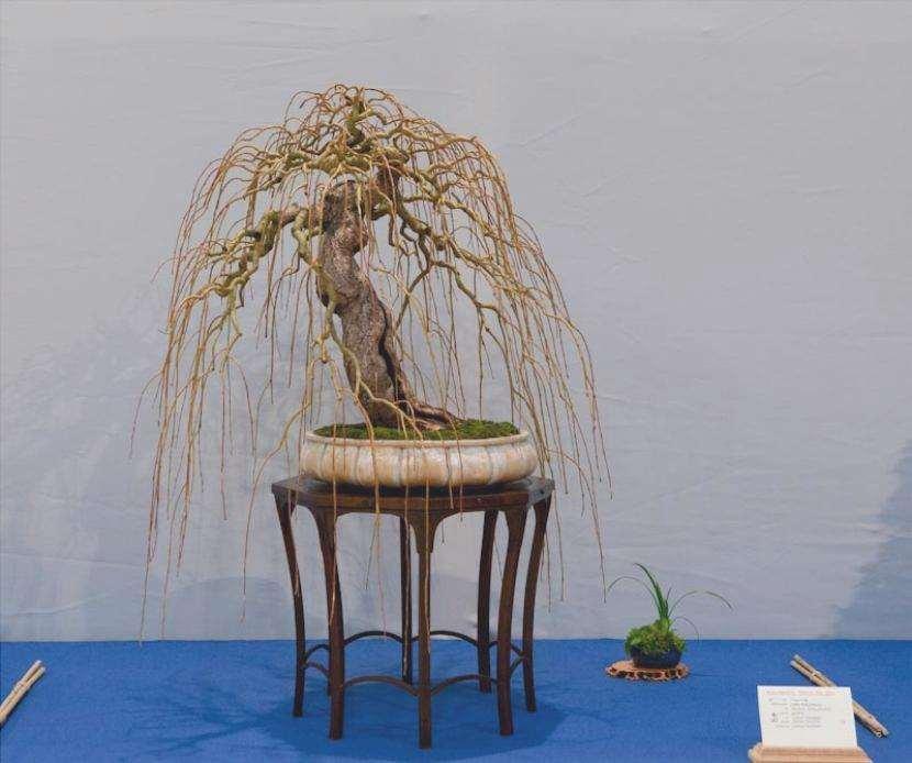 Bonsai di Salix babylonica