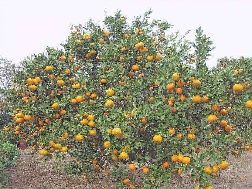 Il satsuma è un albero da frutto.