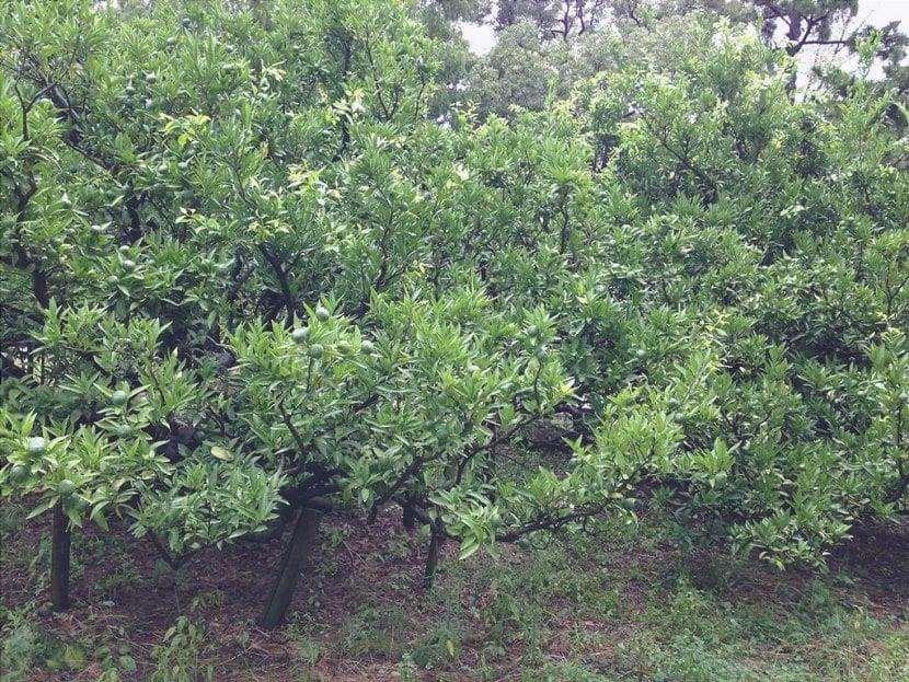 Satsuma è un piccolo albero da frutto