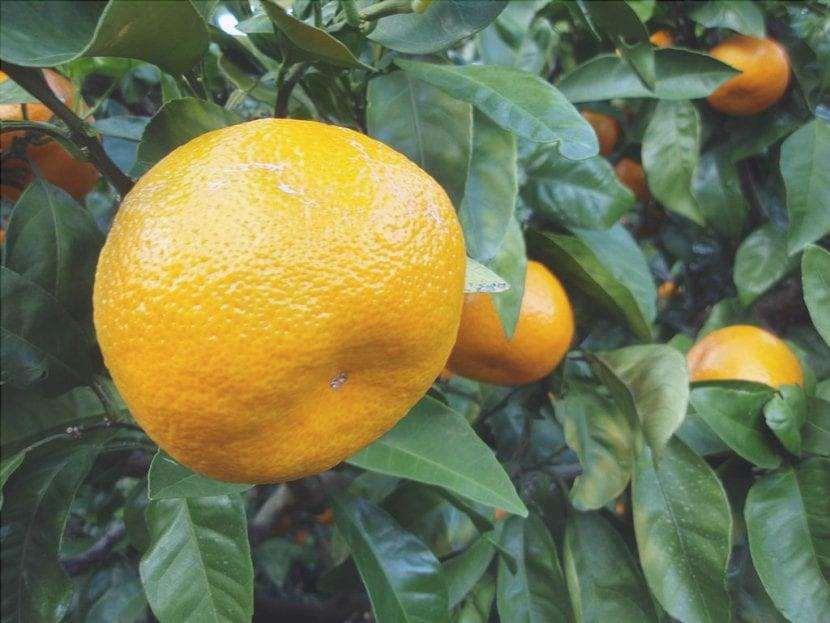 I frutti Satsuma assomigliano alle arance