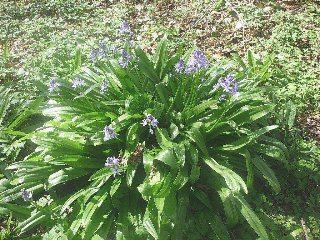 La Scilla lilio-hyacinthus è una bella pianta.