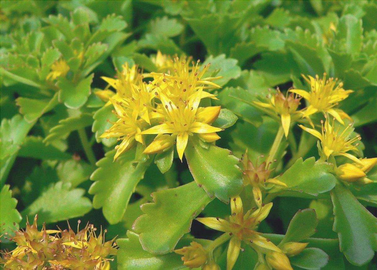 Vista di Sedum kamtschaticum in fiore