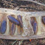 semillas de delonix
