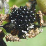 semillas de dionea