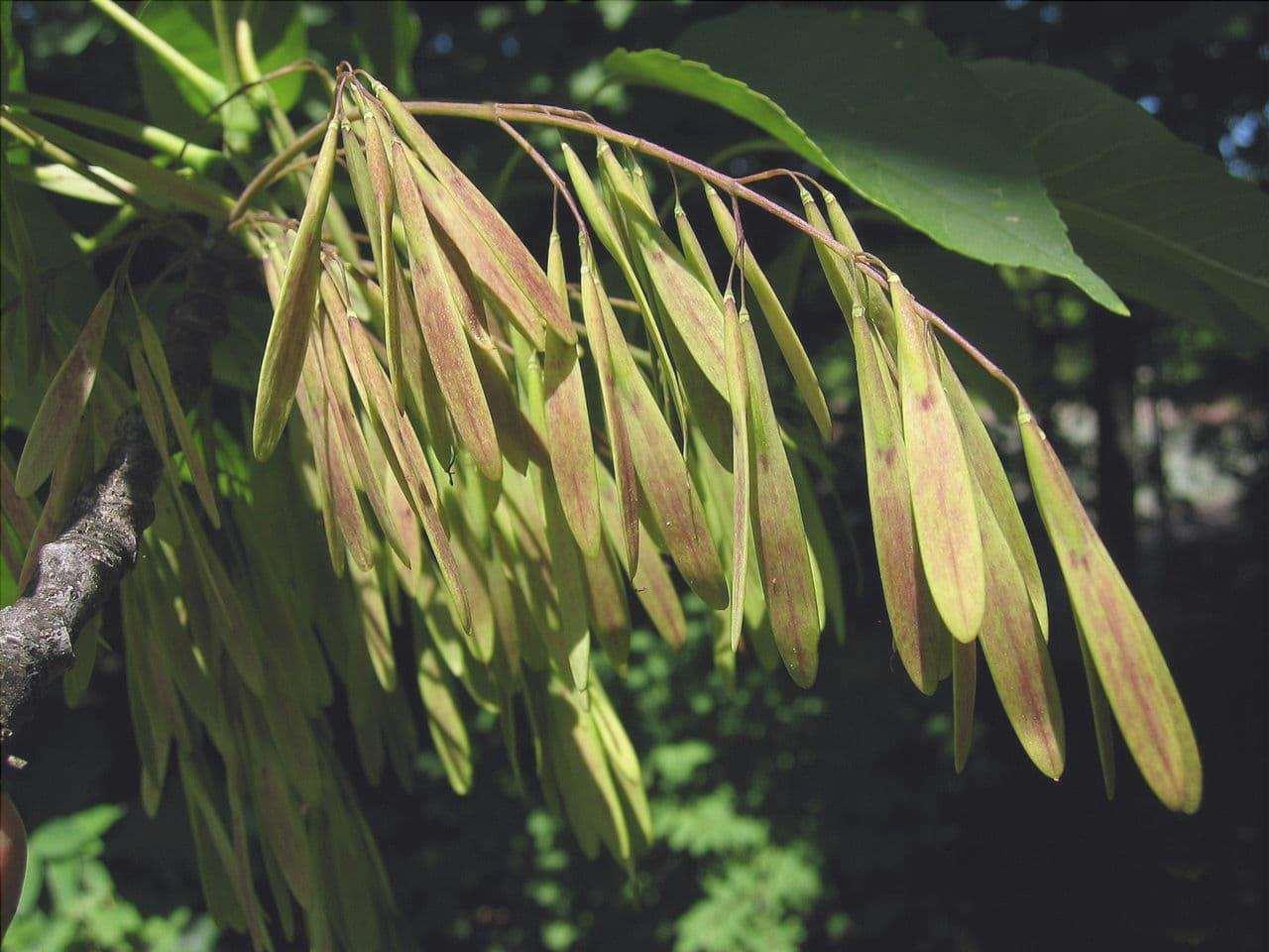 I semi del frassino americano sono alati
