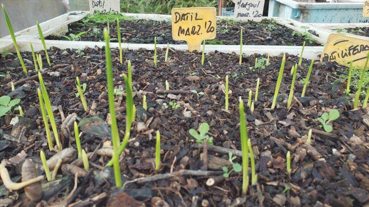 I letti di semina dei datteri devono avere dei fori di drenaggio.