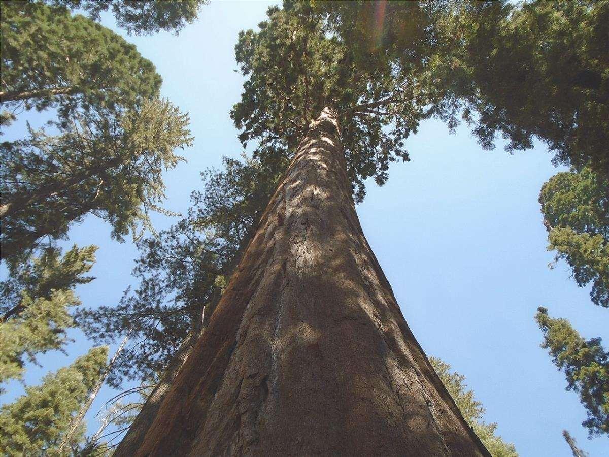 La sequoia gigante è un albero molto grande.