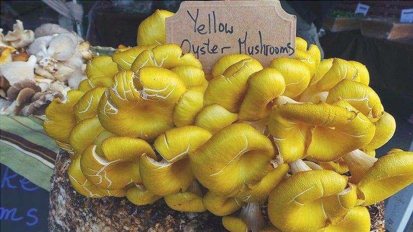 Coltivazione di Pleurotus eryngii