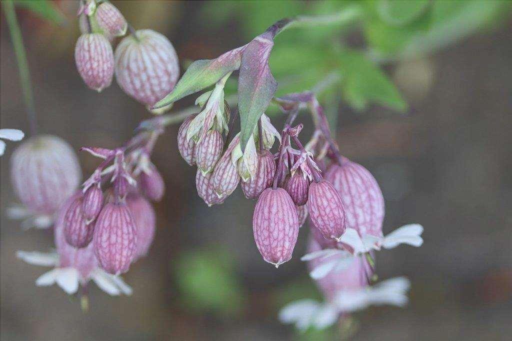 Le Sileen sono piante erbacee.