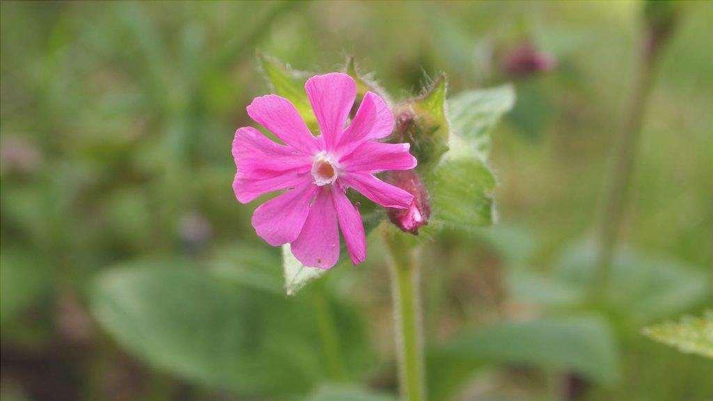 I fiori del Silene sono piccoli