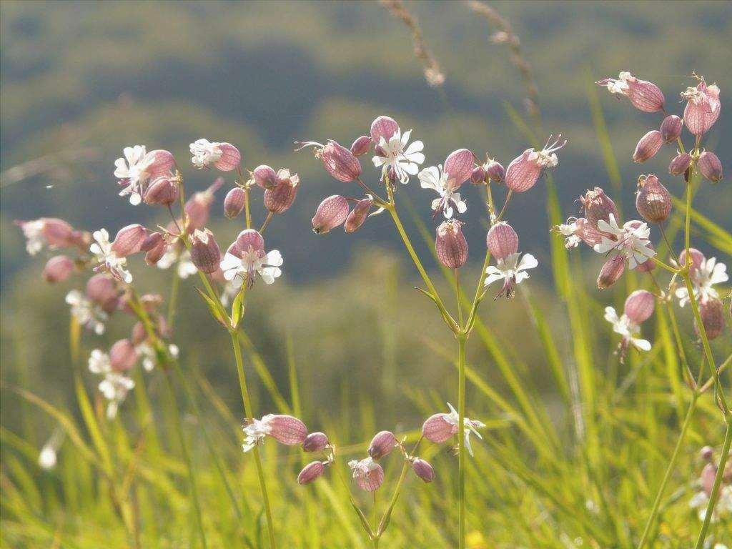 Vista di Silene vulgaris