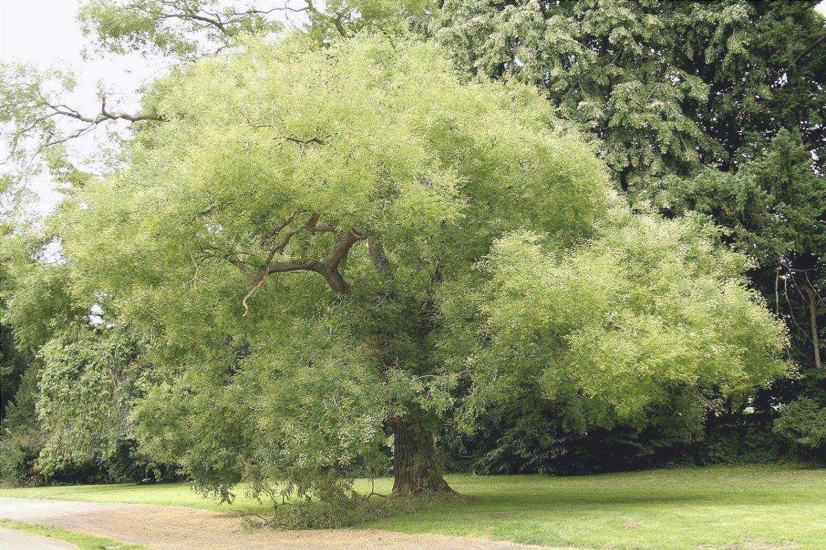 La Sophora è un albero ornamentale.