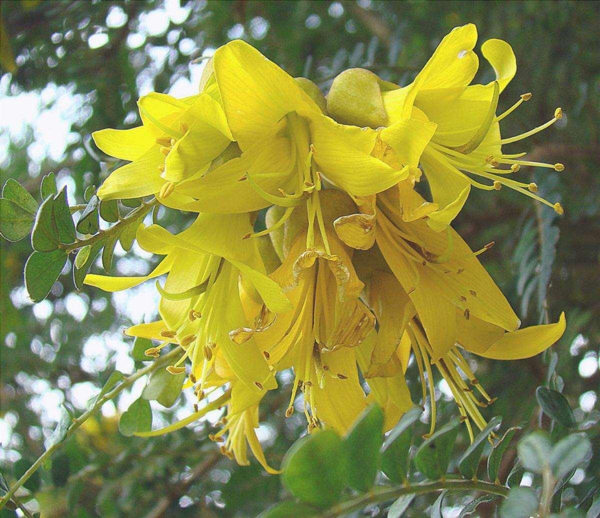 I fiori di Sophora sono di solito gialli.
