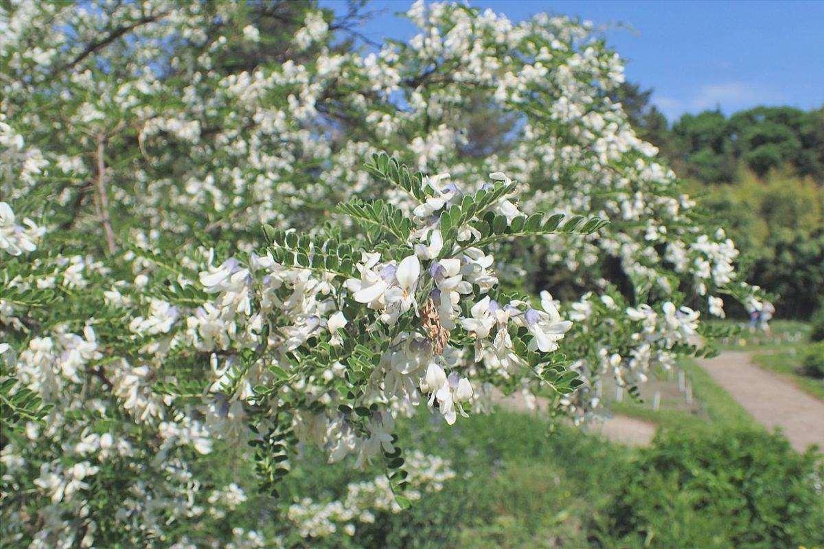 La Sophora davidii è un arbusto