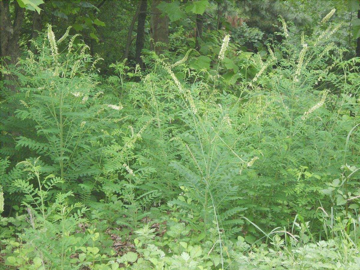 La Sophora flavescens è una pianta