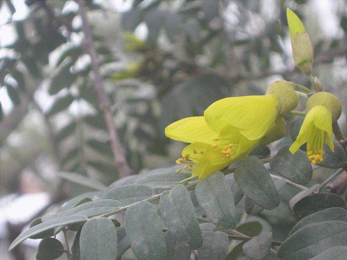 Sophora macrocarpa è una pianta con fiori gialli.