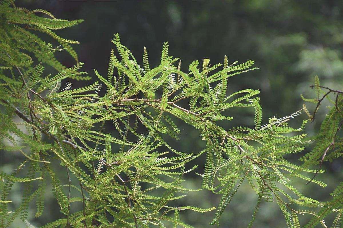 Sophora microphylla ha foglie molto piccole.