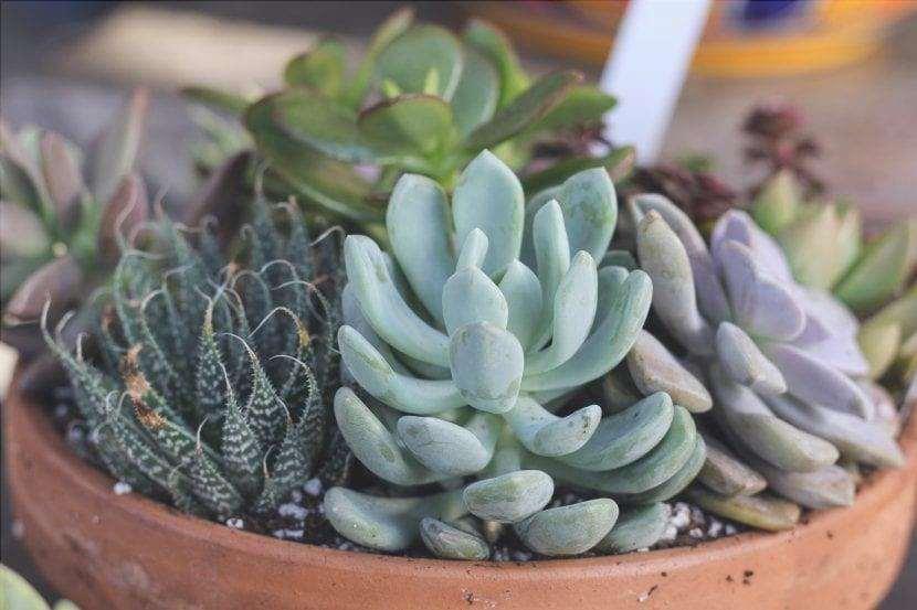 Le succulente sono piante che vogliono la luce