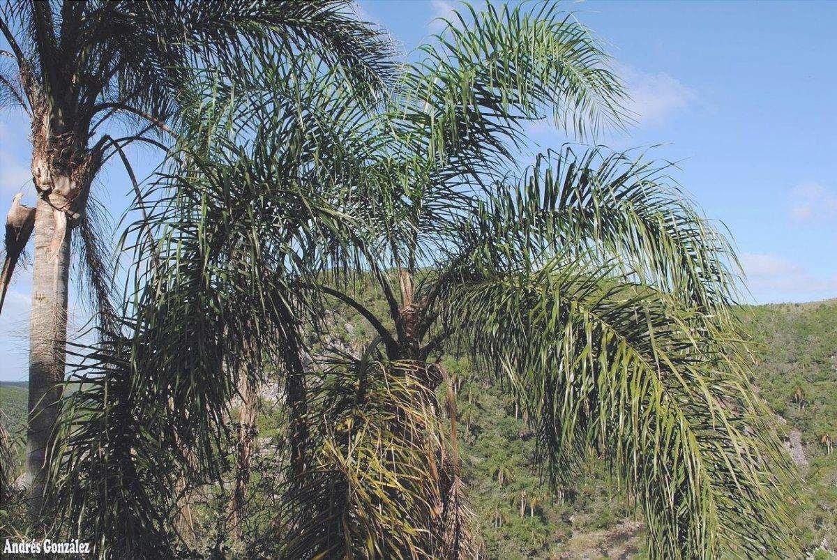 Il Syagrus romanzoffiana è una palma a crescita rapida.