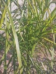 Syagrus coronata verde, dopo mesi di trattamento