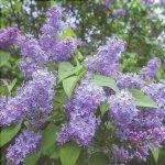 I fiori della Syringa vulgaris sono lilla.