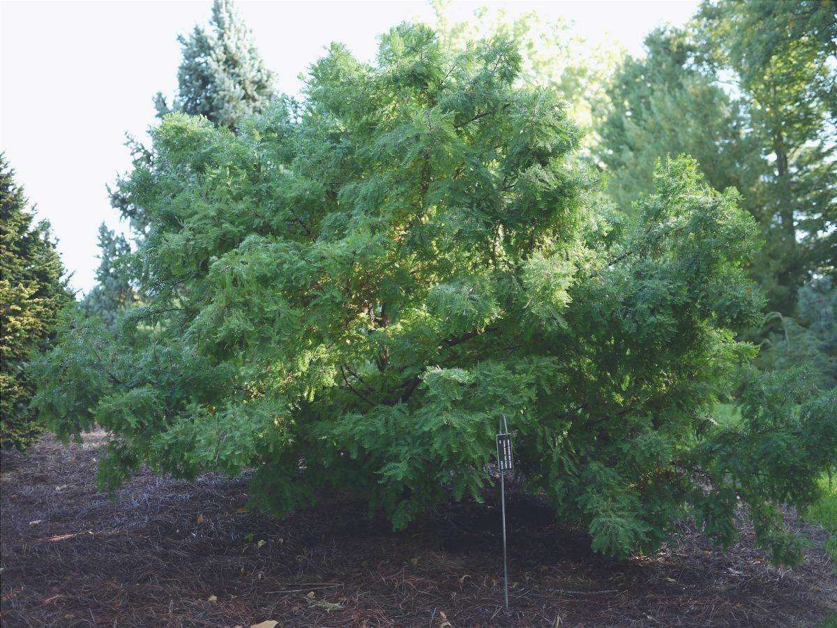 Il cipresso di palude è un albero enorme
