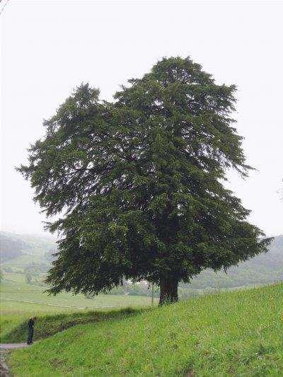 Vista di Taxus baccata o albero di tasso
