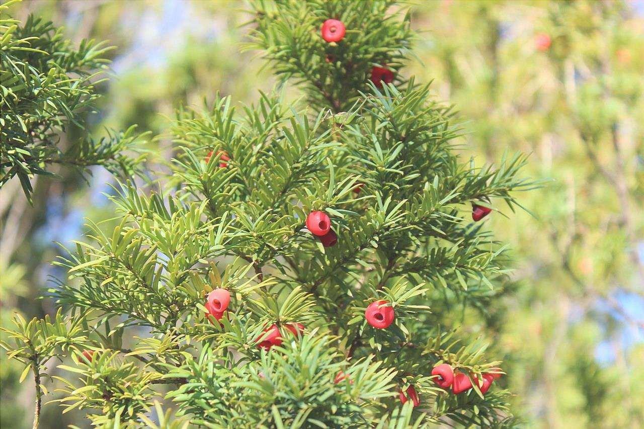 Taxus baccata è una conifera sempreverde molto grande.