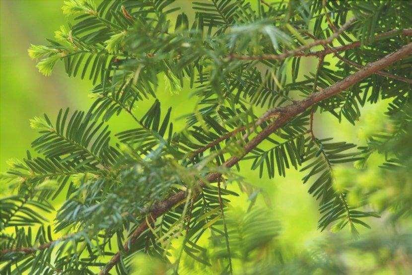 Vista delle foglie di Taxus cuspidata var. cuspidata