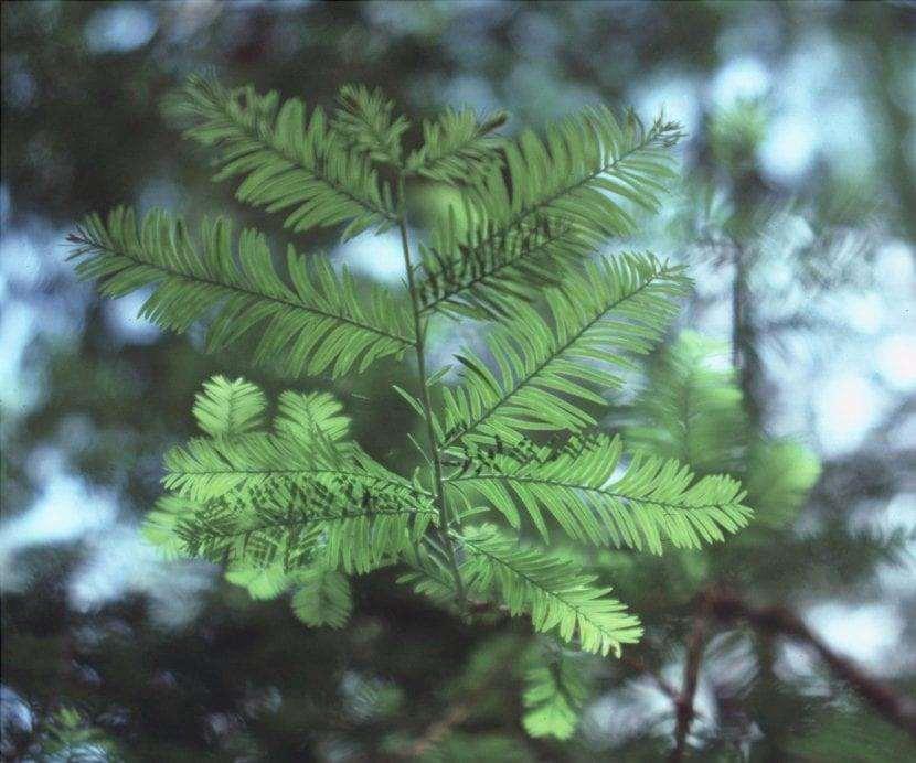 Vista delle foglie di Taxus floridana