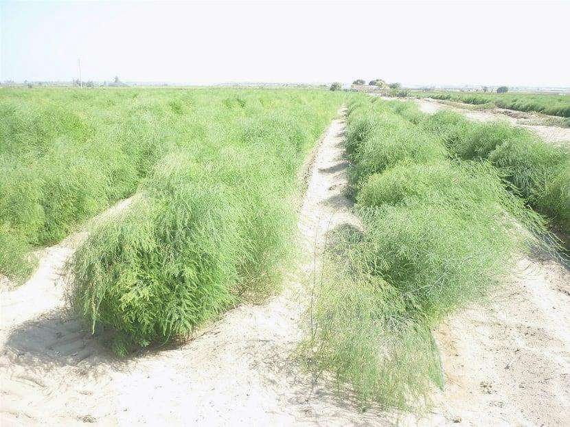Tecniche di coltivazione degli asparagi