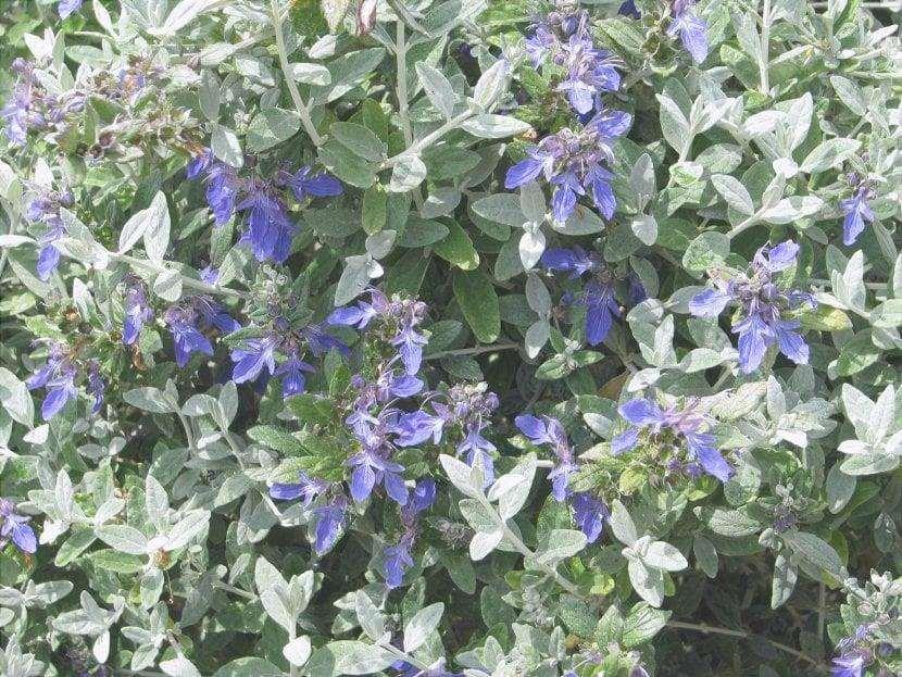 Vista dei fiori di Teucrium fruticans