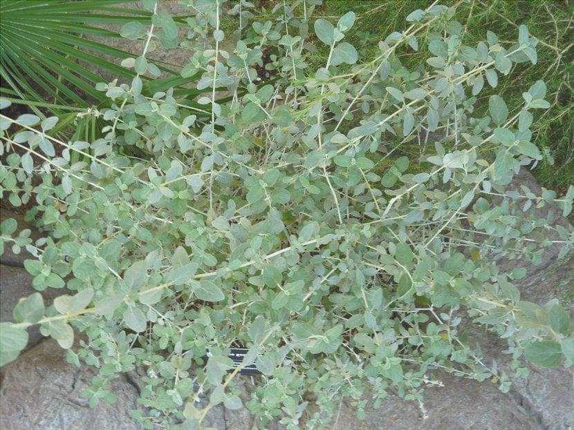 Le foglie di Teucrium fruticans sono perenni.