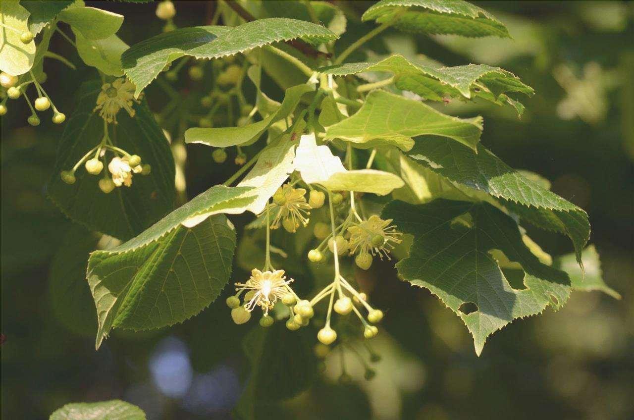Il tiglio dalle grandi foglie resiste al sole