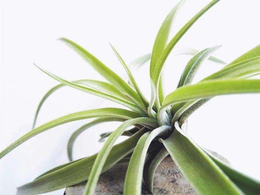 La Tillandsia è una pianta tropicale