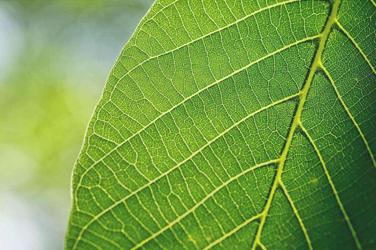 Le foglie fanno la fotosintesi
