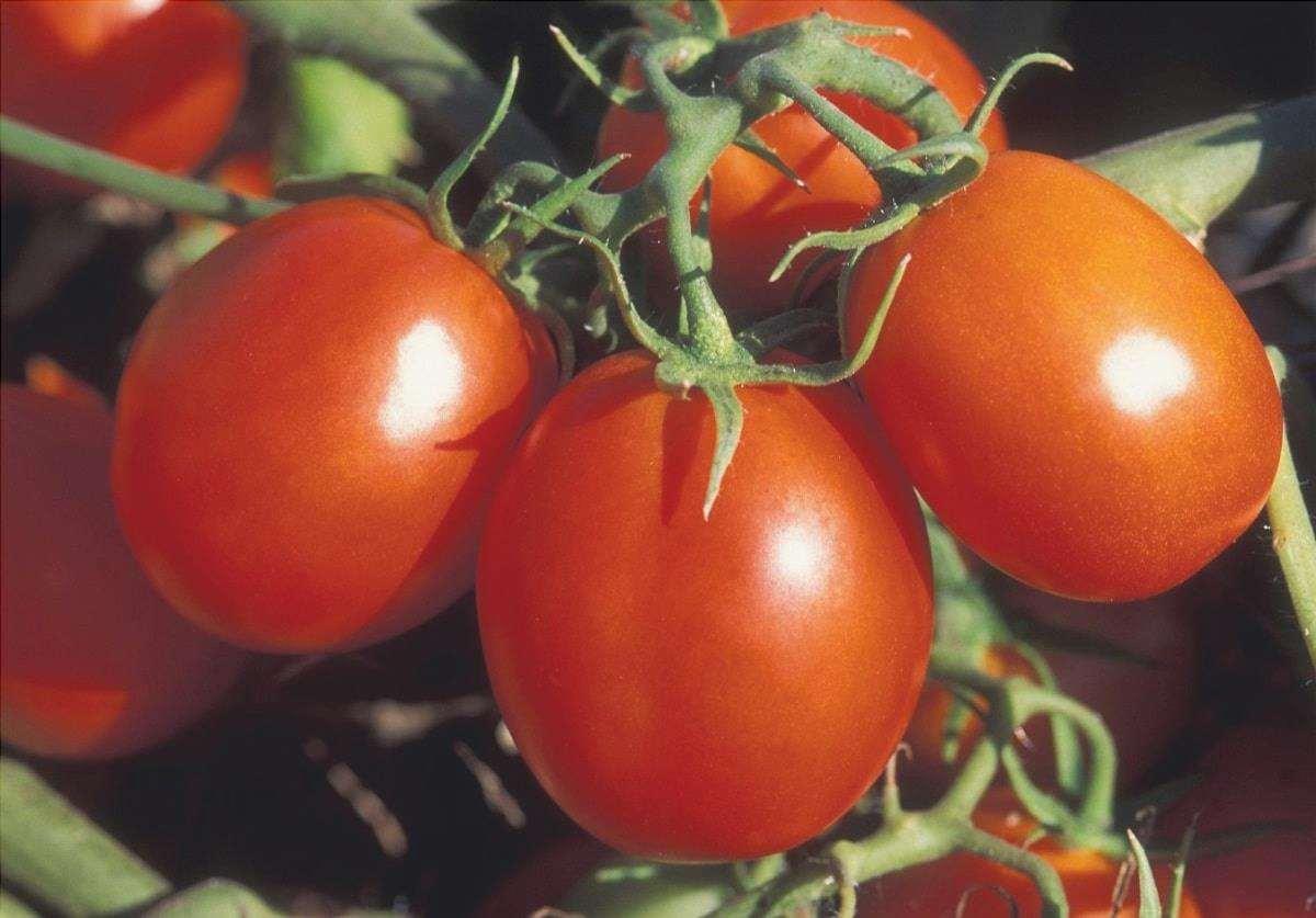 Il pomodoro romano è rosso