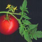 tomatera 2